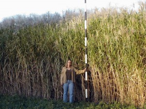 Miscanthus is a promising energy crop